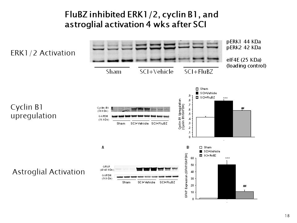 18 FluBZ inhibited ERK1/2, cyclin B1, and astroglial activation 4 wks after SCI ERK1/2 Activation Cyclin B1 upregulation Astroglial Activation