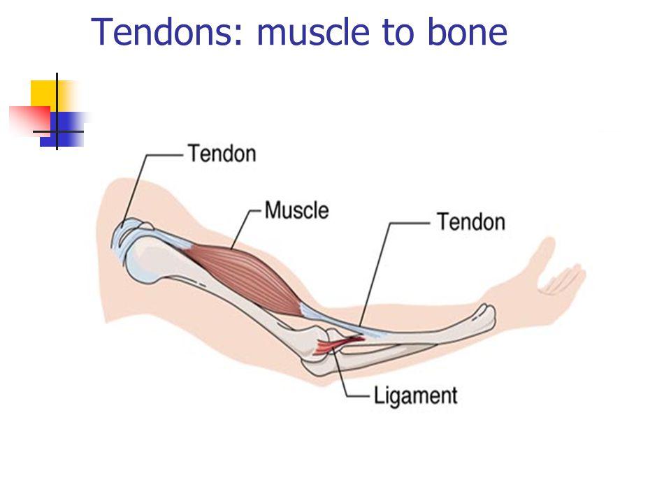 Tendons: muscle to bone