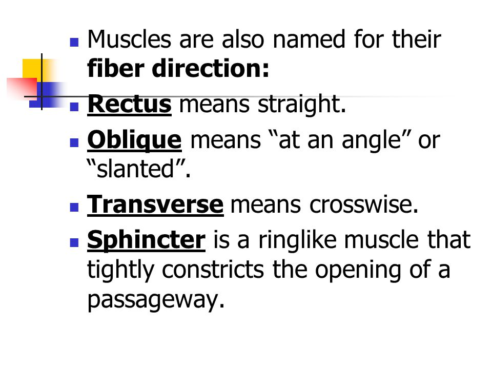 """Muscles are also named for their fiber direction: Rectus means straight. Oblique means """"at an angle"""" or """"slanted"""". Transverse means crosswise. Sphinct"""