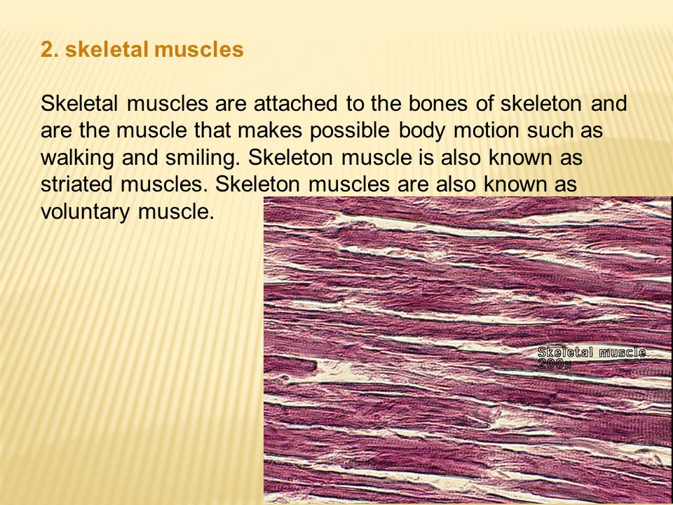 2. skeletal muscles Skeletal muscles are attached to the bones of skeleton and are the muscle that makes possible body motion such as walking and smil