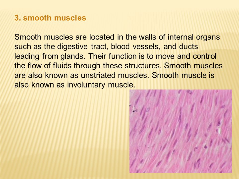 3. smooth muscles Smooth muscles are located in the walls of internal organs such as the digestive tract, blood vessels, and ducts leading from glands