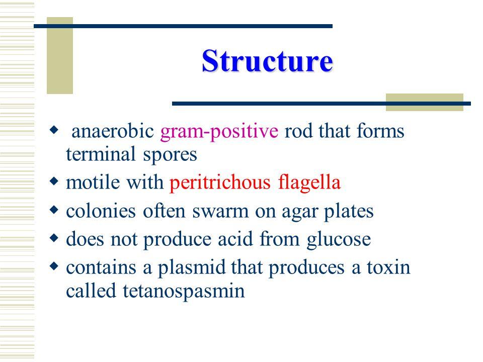 Pathogenesis Tetanospasmin is responsible for the infamous toxemia called tetanus.
