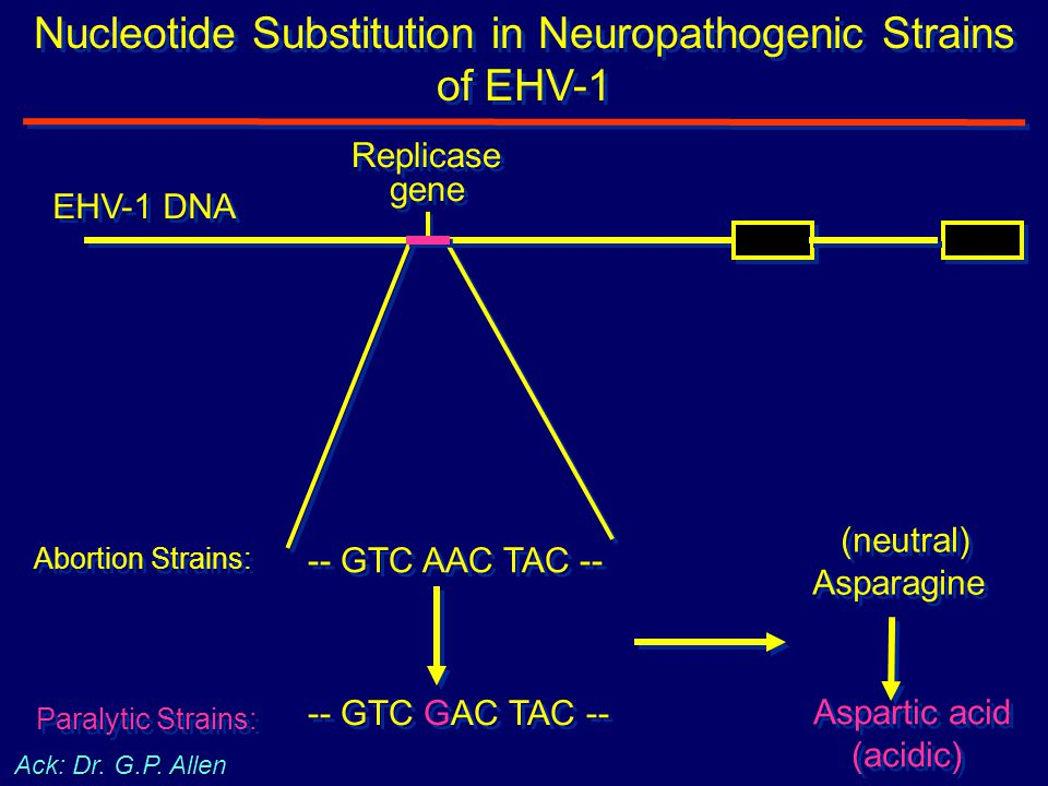 -- GTC GAC TAC -- -- GTC AAC TAC -- (neutral) Asparagine (neutral) Asparagine Aspartic acid (acidic) Aspartic acid (acidic) Replicase gene Replicase g