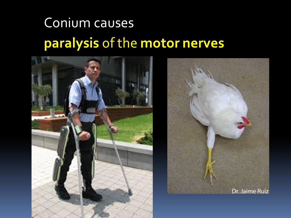Conium causes paralysis of the motor nerves