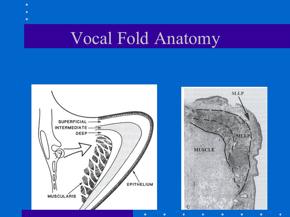Laryngeal Anatomy Three surrounding structures- pharynx, trachea and esophagus Three levels - supraglottis, glottis and subglottis Three fixed structures - hyoid, thyroid and cricoid Three mobile structures -epiglottis, false vocal cords and true vocal cords (folds)