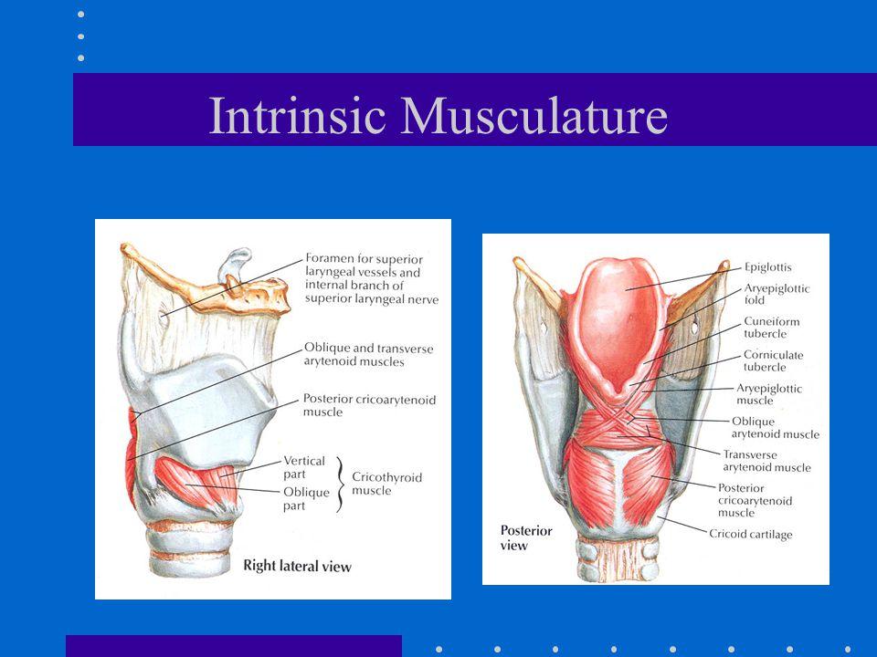 Intrinsic Musculature