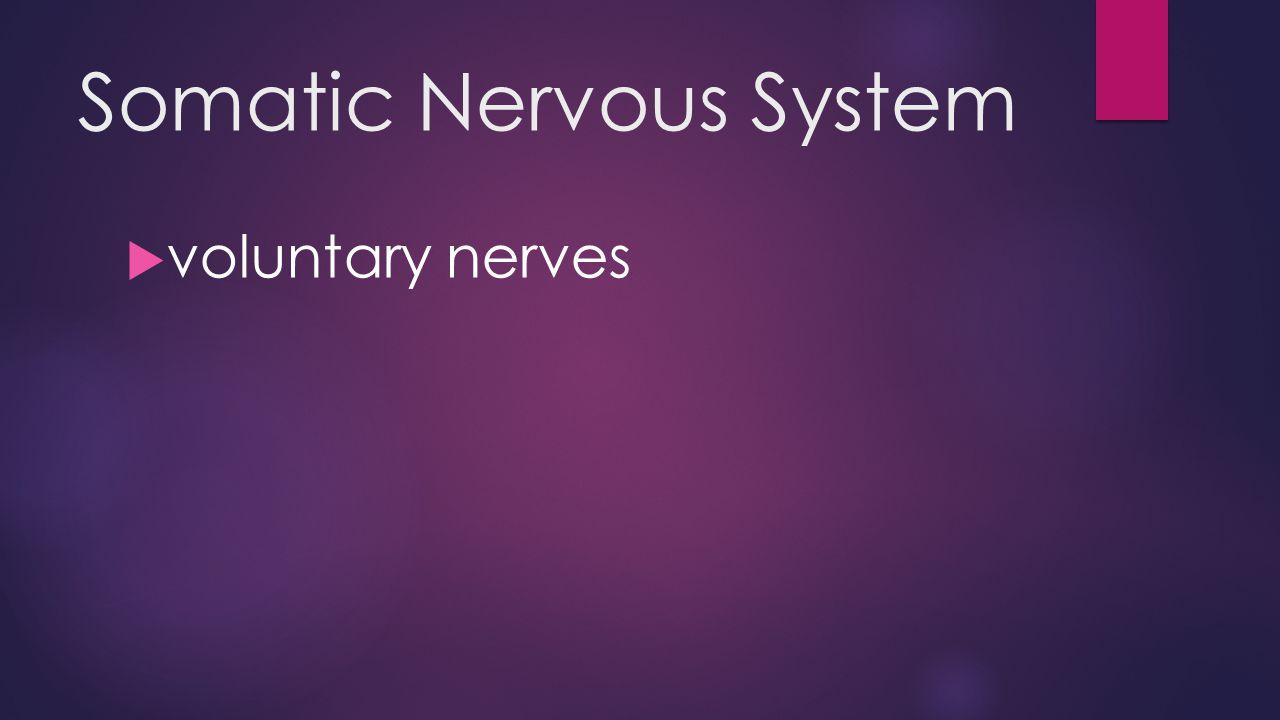 Somatic Nervous System  voluntary nerves