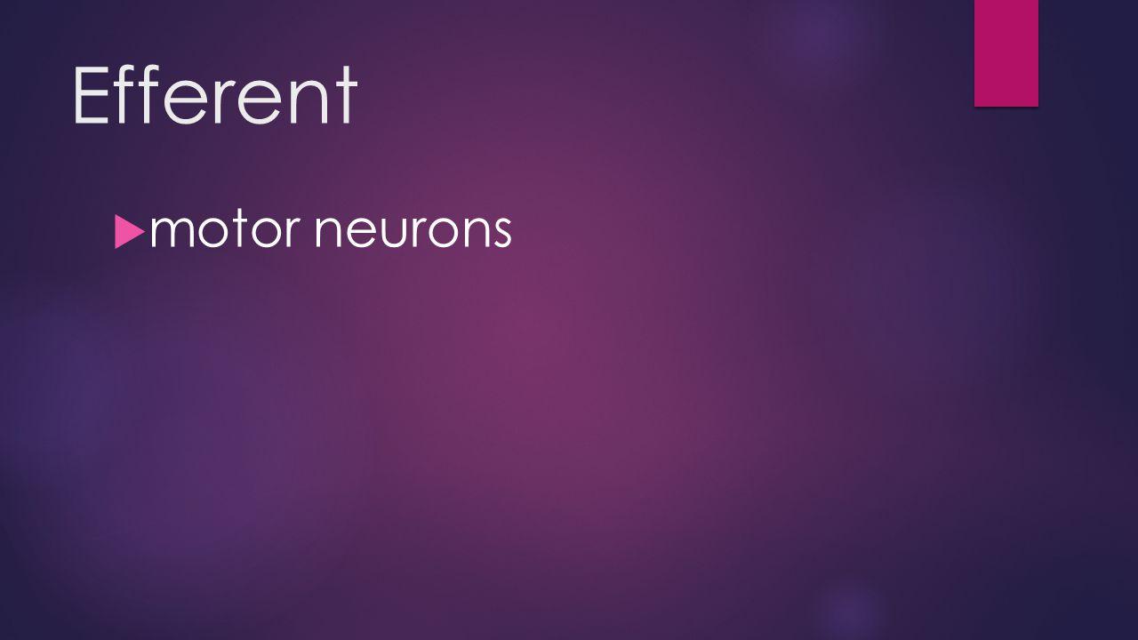 Efferent  motor neurons