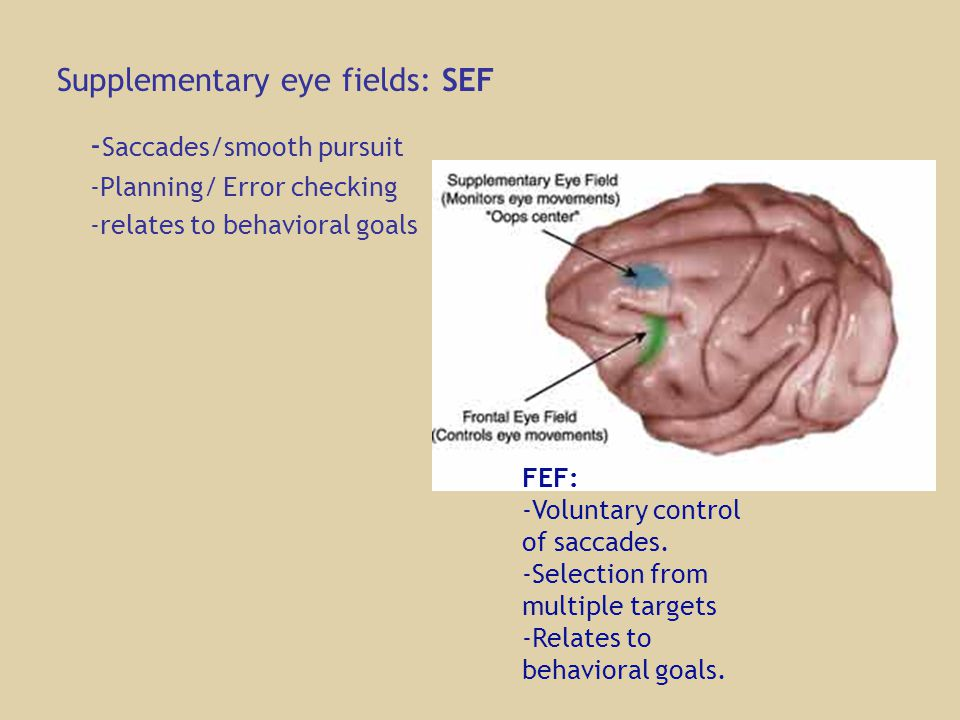 - Saccades/smooth pursuit -Planning/ Error checking -relates to behavioral goals Supplementary eye fields: SEF FEF: -Voluntary control of saccades.