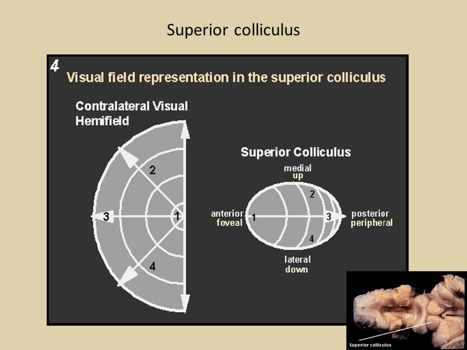 Superior colliculus