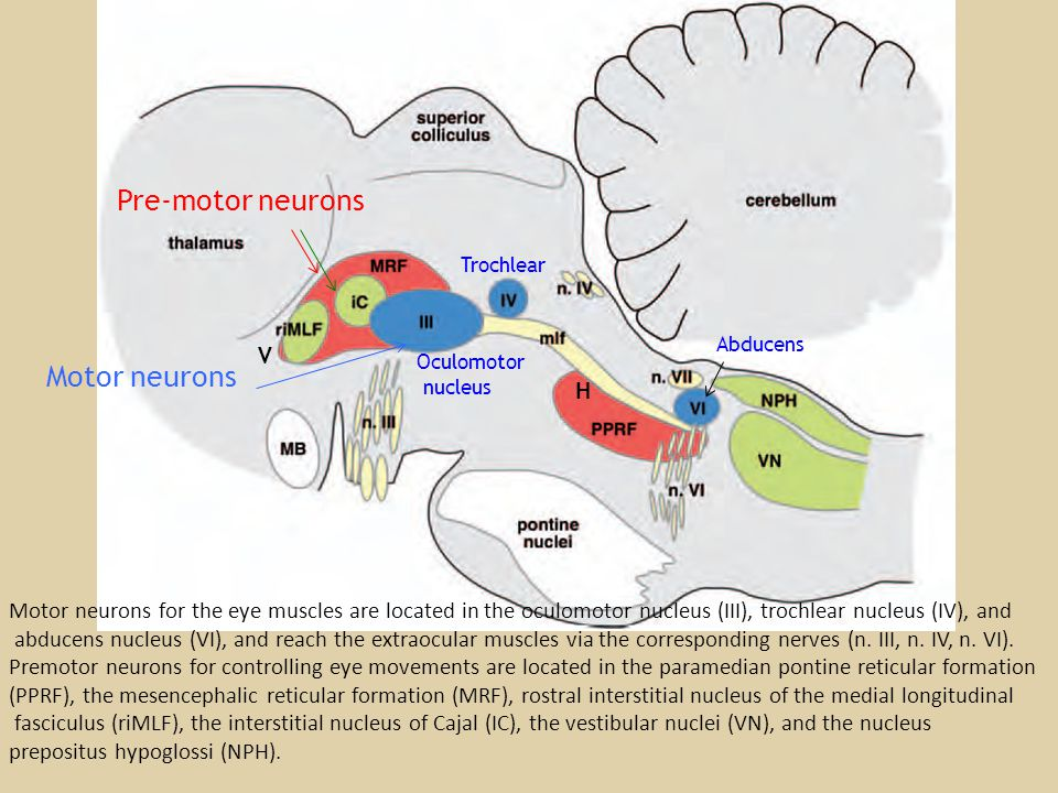 Motor neurons for the eye muscles are located in the oculomotor nucleus (III), trochlear nucleus (IV), and abducens nucleus (VI), and reach the extrao