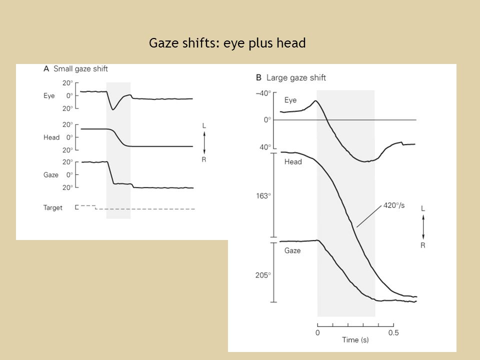 Gaze shifts: eye plus head