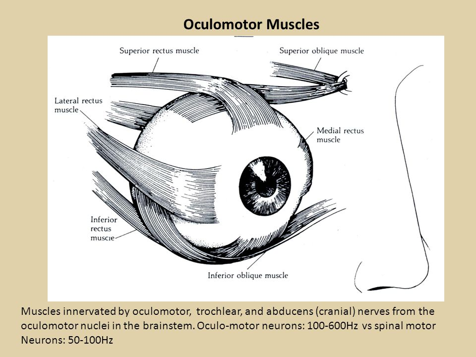 Oculomotor Muscles Muscles innervated by oculomotor, trochlear, and abducens (cranial) nerves from the oculomotor nuclei in the brainstem. Oculo-motor