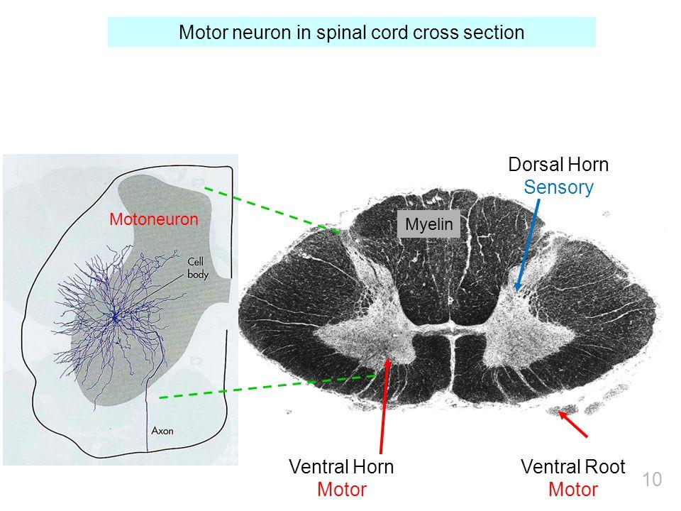 Myelin Dorsal Horn Sensory Ventral Horn Motor Ventral Root Motor Motor neuron in spinal cord cross section Motoneuron 10