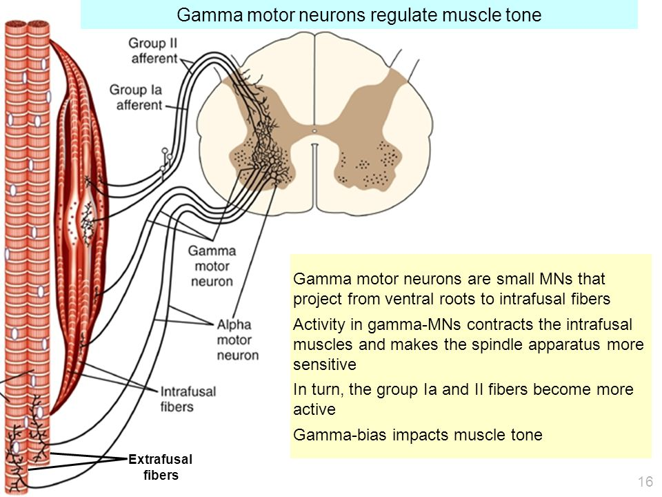 Gamma motor neurons are small MNs that project from ventral roots to intrafusal fibers Activity in gamma-MNs contracts the intrafusal muscles and makes the spindle apparatus more sensitive In turn, the group Ia and II fibers become more active Gamma-bias impacts muscle tone Gamma motor neurons regulate muscle tone Extrafusal fibers 16