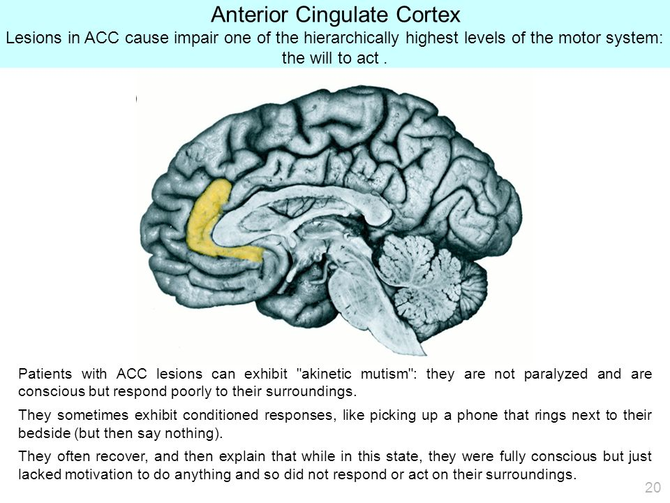 20 Anterior Cingulate Cortex Lesions in ACC cause impair one of the hierarchically highest levels of the motor system: the will to act.