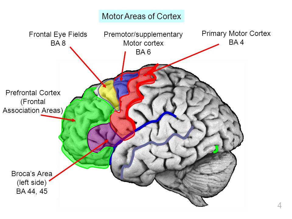 4 Primary Motor Cortex BA 4 Premotor/supplementary Motor cortex BA 6 Frontal Eye Fields BA 8 Broca's Area (left side) BA 44, 45 Prefrontal Cortex (Frontal Association Areas) Motor Areas of Cortex