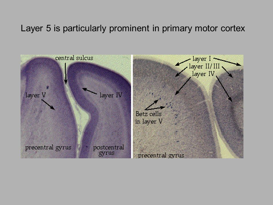 5 Layer 5 is particularly prominent in primary motor cortex 5
