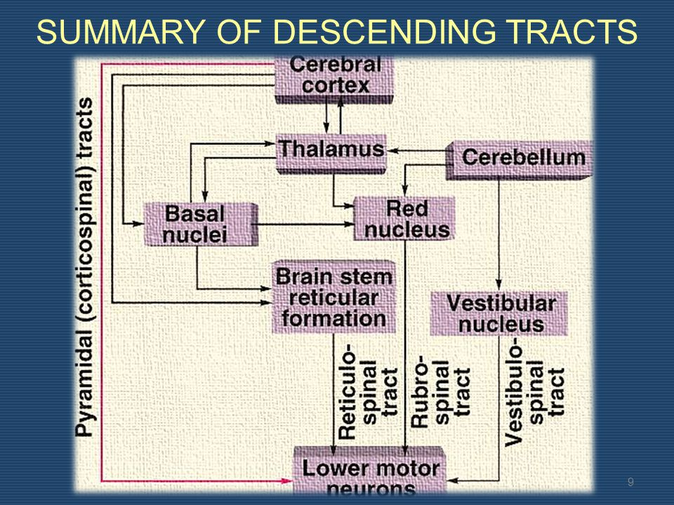 EXTRA PYRAMIDAL TRACT 8 These tracts terminate on interneurons usually.