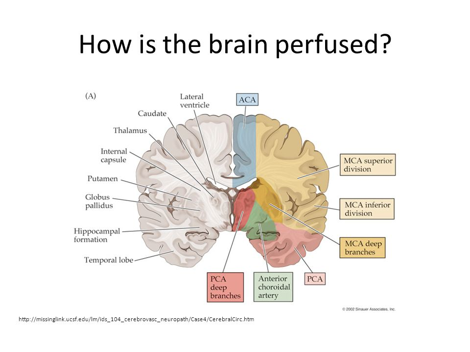 How is the brain perfused.