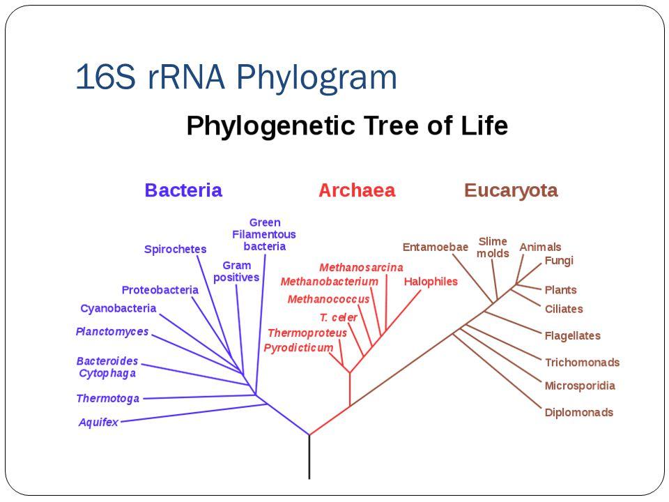 16S rRNA Phylogram