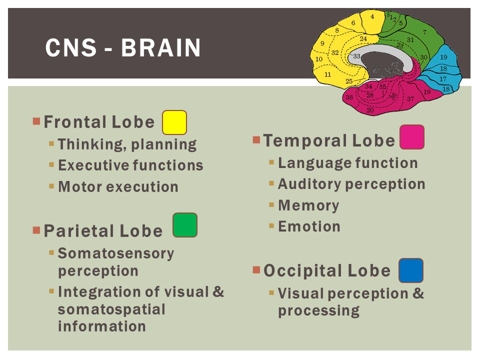  Frontal Lobe  Thinking, planning  Executive functions  Motor execution  Parietal Lobe  Somatosensory perception  Integration of visual & somatospatial information  Temporal Lobe  Language function  Auditory perception  Memory  Emotion  Occipital Lobe  Visual perception & processing CNS - BRAIN