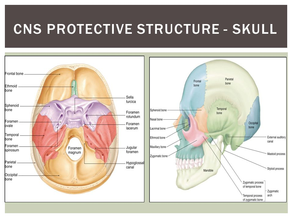 CNS PROTECTIVE STRUCTURES – VERTEBRAE (SPINE)