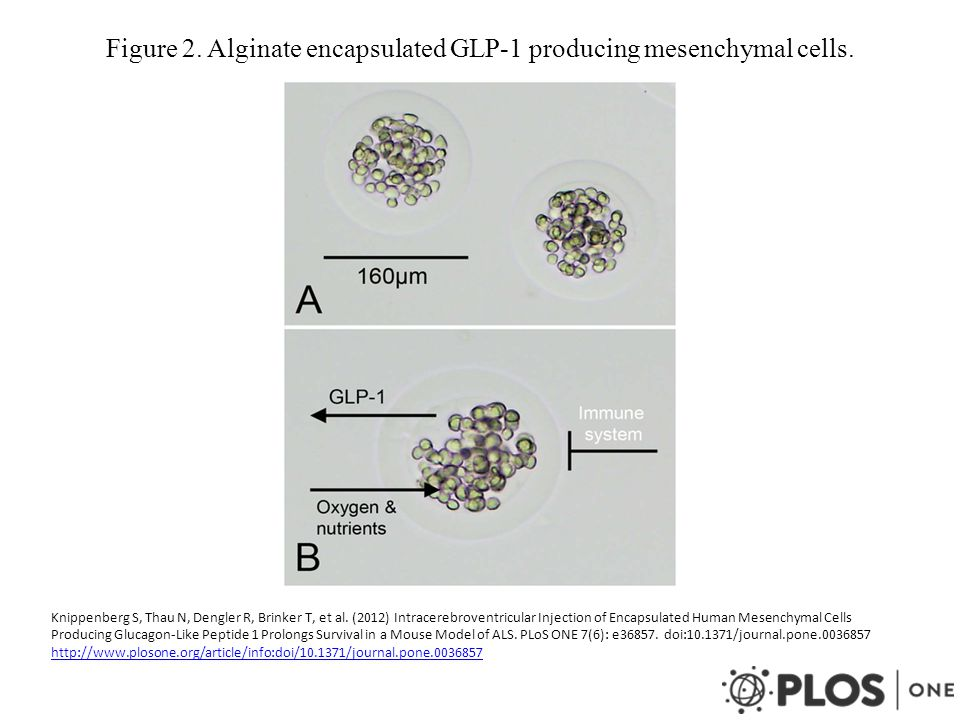 Figure 2. Alginate encapsulated GLP-1 producing mesenchymal cells. Knippenberg S, Thau N, Dengler R, Brinker T, et al. (2012) Intracerebroventricular
