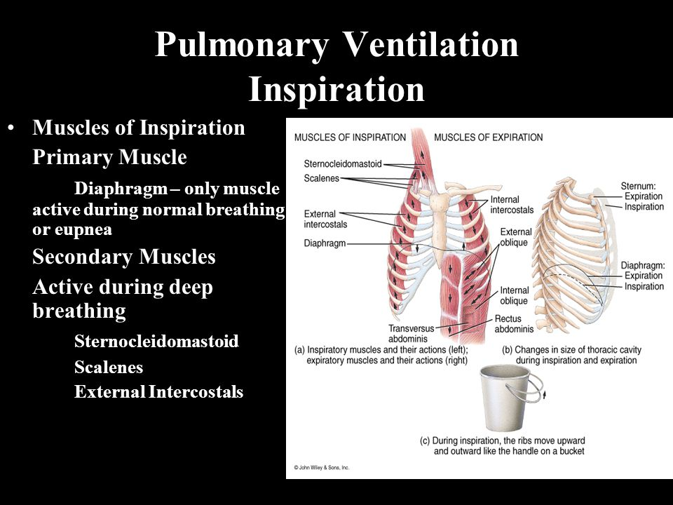 Pulmonary Ventilation Inspiration Muscles of Inspiration Primary Muscle Diaphragm – only muscle active during normal breathing or eupnea Secondary Mus