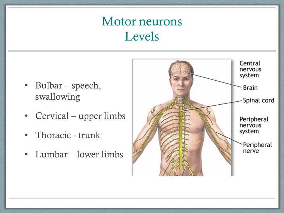 Motor neurons Levels Bulbar – speech, swallowing Cervical – upper limbs Thoracic - trunk Lumbar – lower limbs