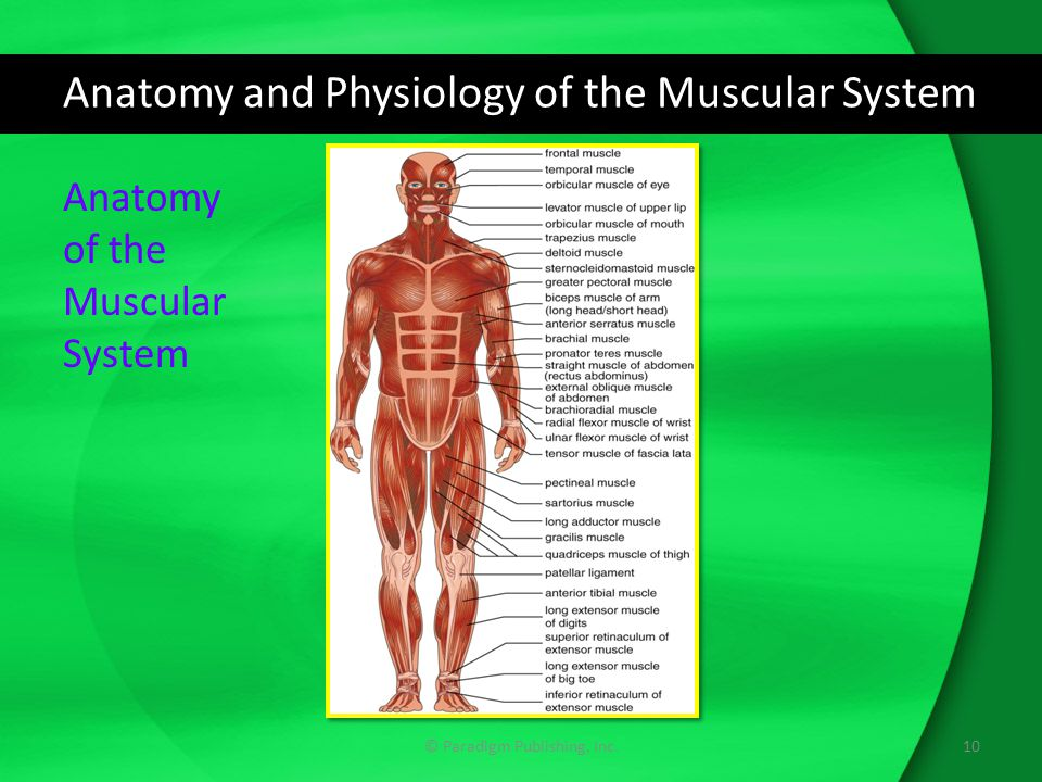 Anatomy and Physiology of the Muscular System © Paradigm Publishing, Inc.10 Anatomy of the Muscular System