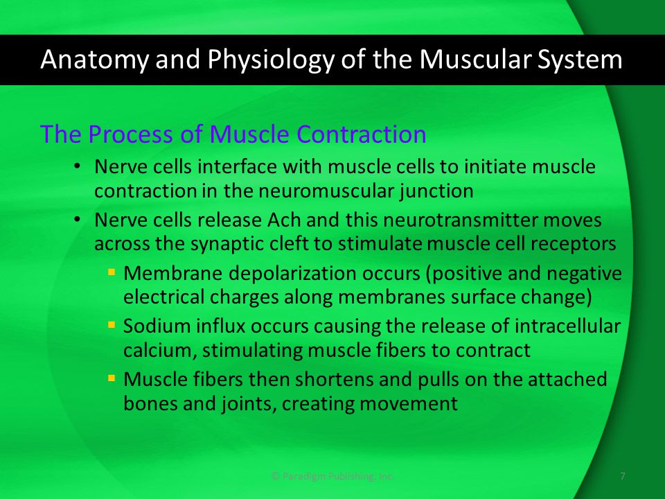 Anatomy and Physiology of the Muscular System The Process of Muscle Contraction Nerve cells interface with muscle cells to initiate muscle contraction in the neuromuscular junction Nerve cells release Ach and this neurotransmitter moves across the synaptic cleft to stimulate muscle cell receptors  Membrane depolarization occurs (positive and negative electrical charges along membranes surface change)  Sodium influx occurs causing the release of intracellular calcium, stimulating muscle fibers to contract  Muscle fibers then shortens and pulls on the attached bones and joints, creating movement 7© Paradigm Publishing, Inc.