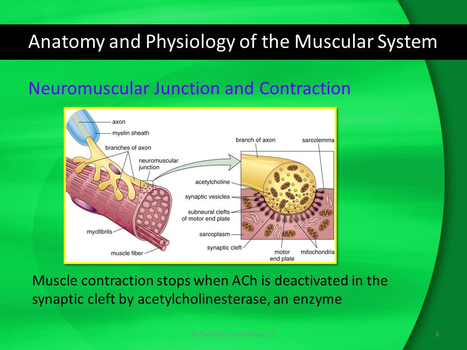 Anatomy and Physiology of the Muscular System © Paradigm Publishing, Inc.8 Neuromuscular Junction and Contraction Muscle contraction stops when ACh is deactivated in the synaptic cleft by acetylcholinesterase, an enzyme