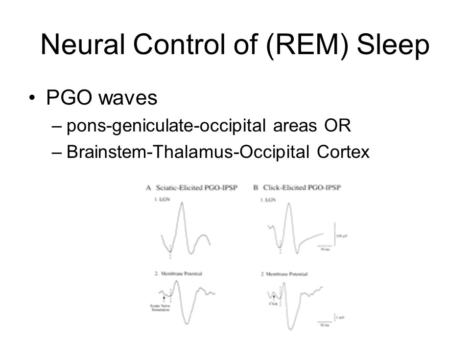Neural Control of (REM) Sleep PGO waves –pons-geniculate-occipital areas OR –Brainstem-Thalamus-Occipital Cortex