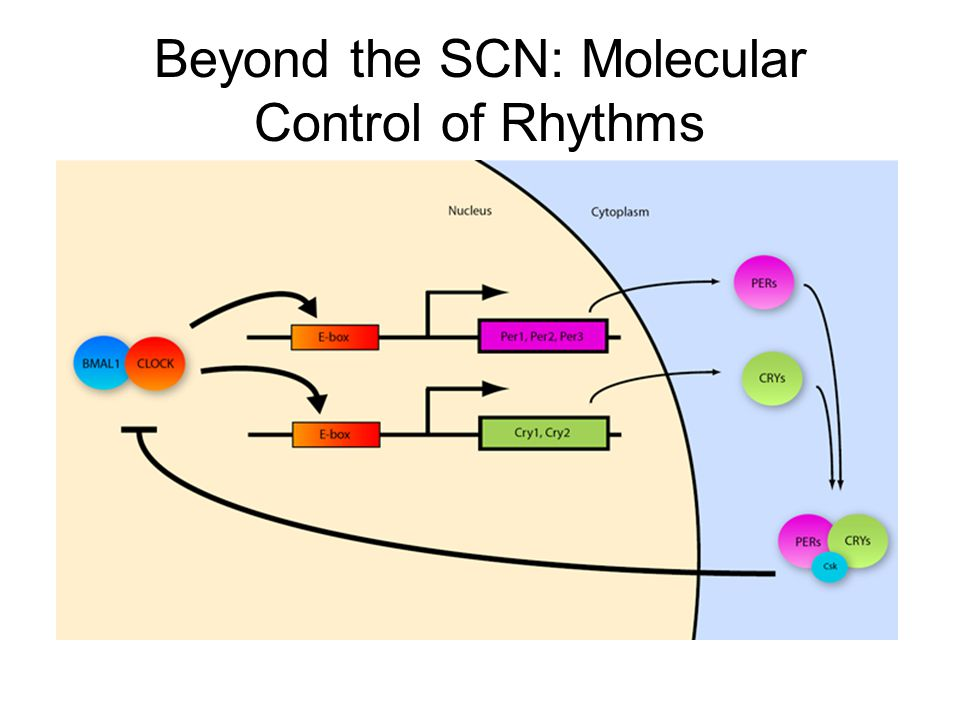 Beyond the SCN: Molecular Control of Rhythms