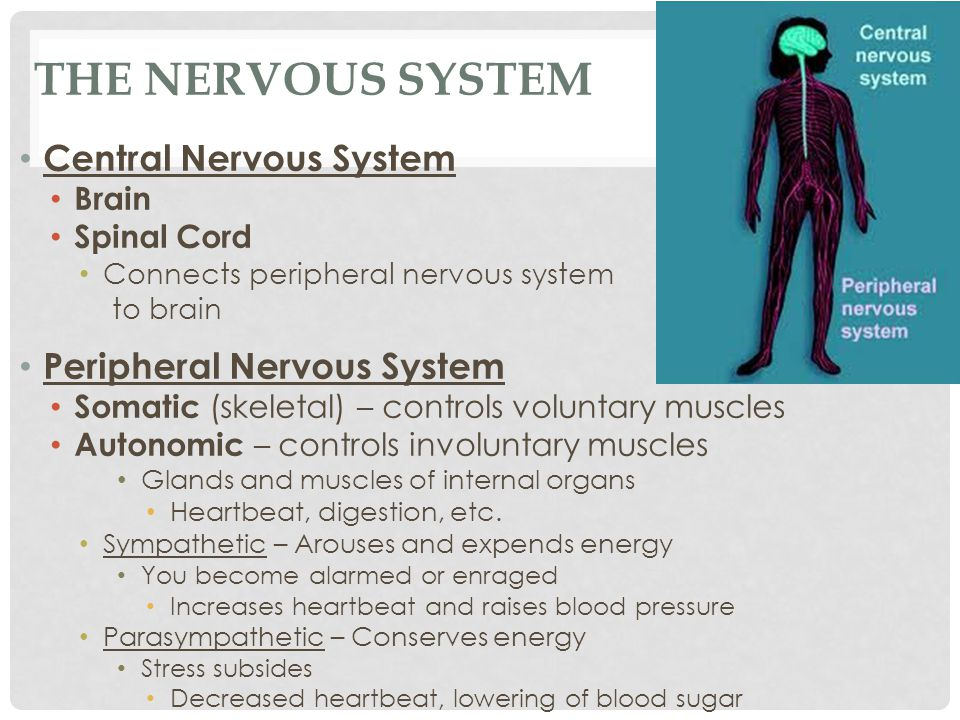 THE NERVOUS SYSTEM Central Nervous System Brain Spinal Cord Connects peripheral nervous system to brain Peripheral Nervous System Somatic (skeletal) –