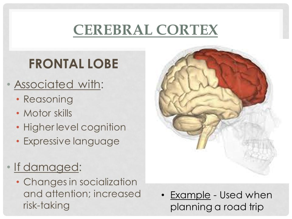 FRONTAL LOBE Associated with: Reasoning Motor skills Higher level cognition Expressive language If damaged: Changes in socialization and attention; in