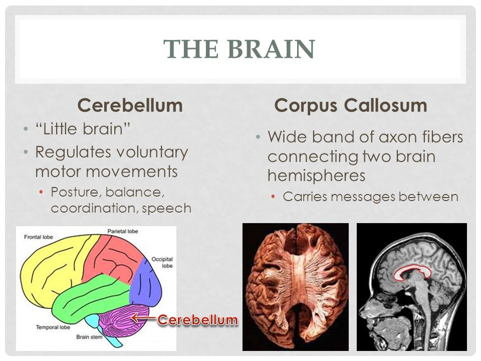 "THE BRAIN Cerebellum ""Little brain"" Regulates voluntary motor movements Posture, balance, coordination, speech Corpus Callosum Wide band of axon fiber"