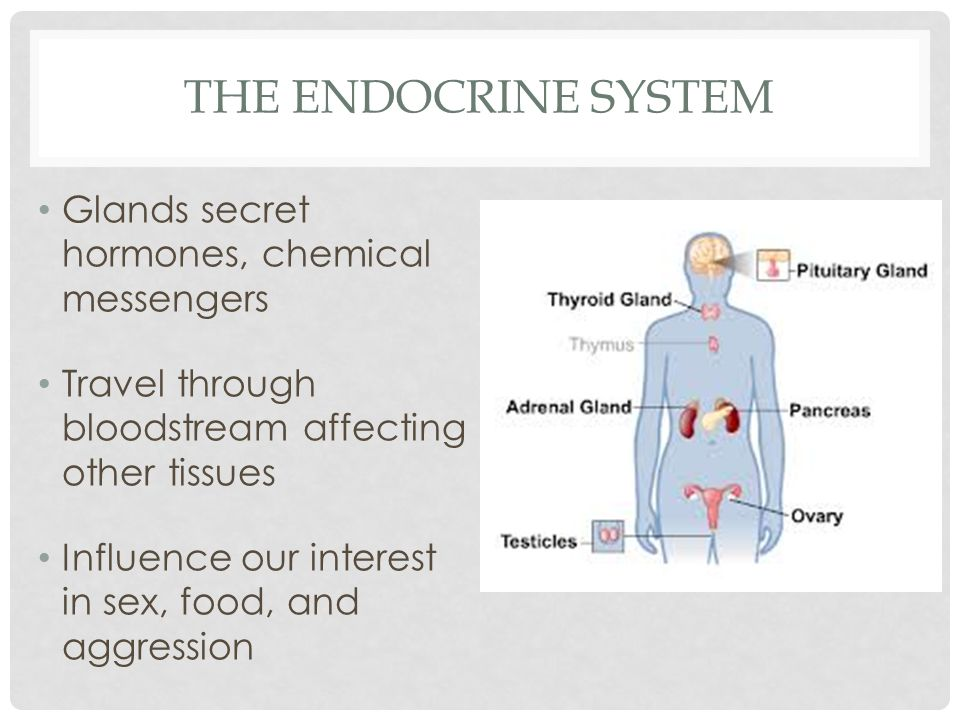 THE ENDOCRINE SYSTEM Glands secret hormones, chemical messengers Travel through bloodstream affecting other tissues Influence our interest in sex, foo