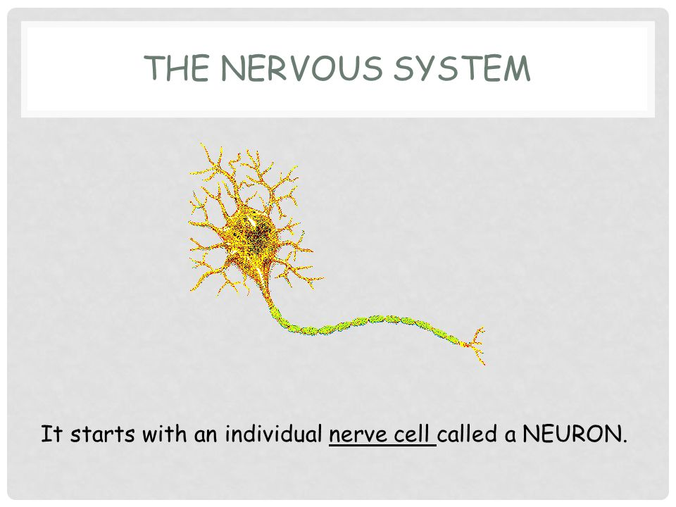 THE NERVOUS SYSTEM It starts with an individual nerve cell called a NEURON.
