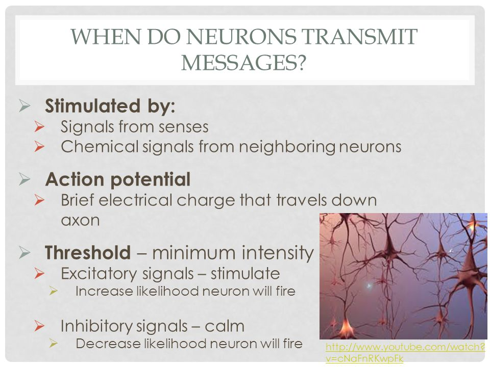 WHEN DO NEURONS TRANSMIT MESSAGES?  Stimulated by:  Signals from senses  Chemical signals from neighboring neurons  Action potential  Brief elect