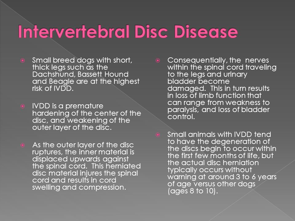  Small breed dogs with short, thick legs such as the Dachshund, Bassett Hound and Beagle are at the highest risk of IVDD.  IVDD is a premature harde