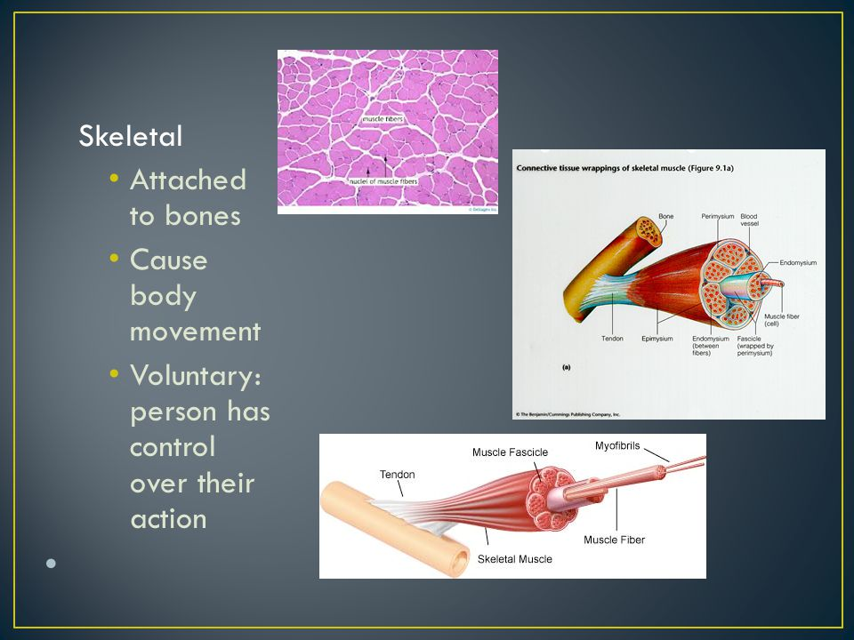 Attach to bones to provide voluntary movement Produce heat and energy Help maintain posture Protect internal organs