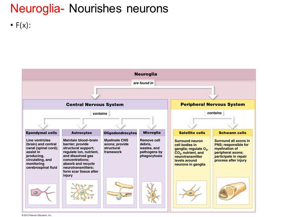 Neuroglia- Nourishes neurons F(x):