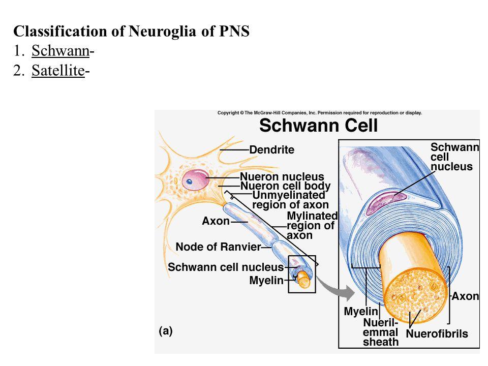Classification of Neuroglia of PNS 1.Schwann- 2.Satellite-