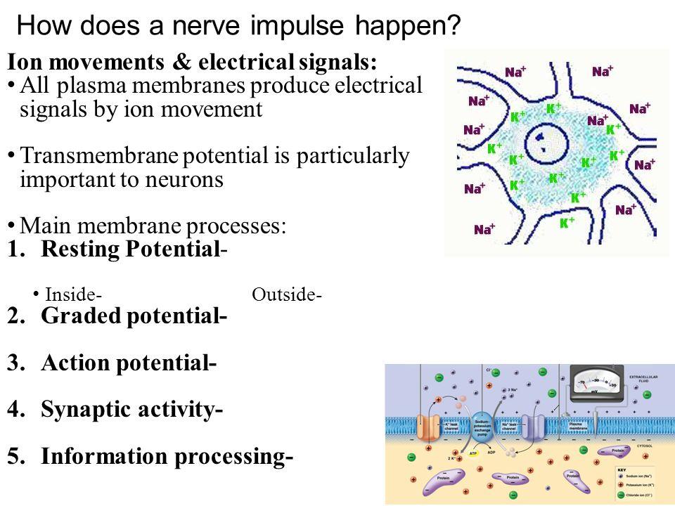 How does a nerve impulse happen.