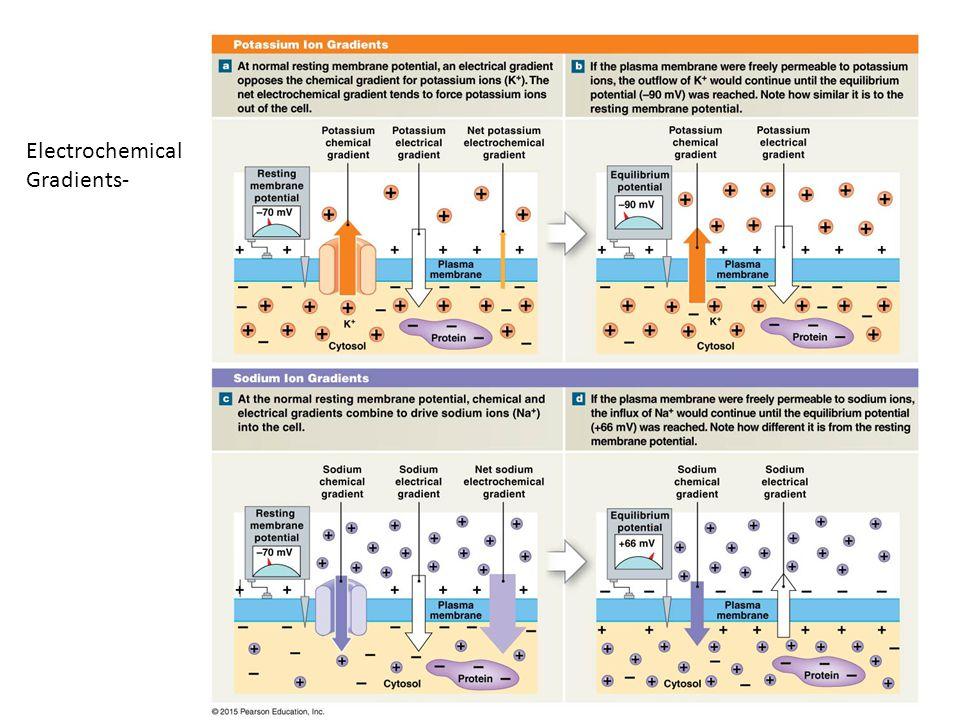 Electrochemical Gradients-