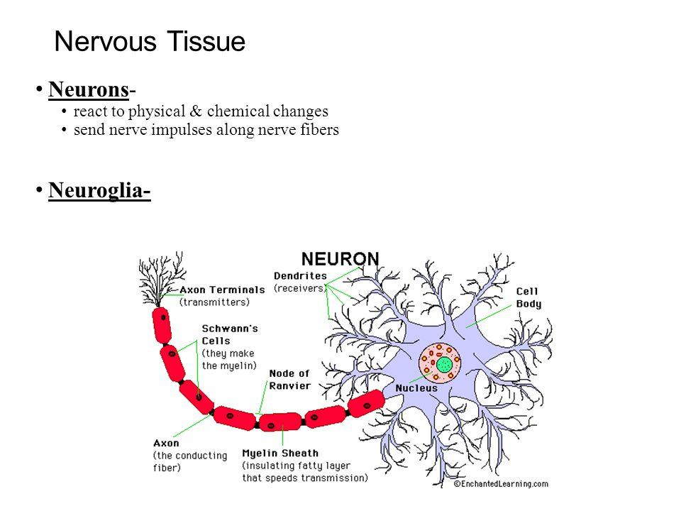 Nervous Tissue Neurons- react to physical & chemical changes send nerve impulses along nerve fibers Neuroglia-