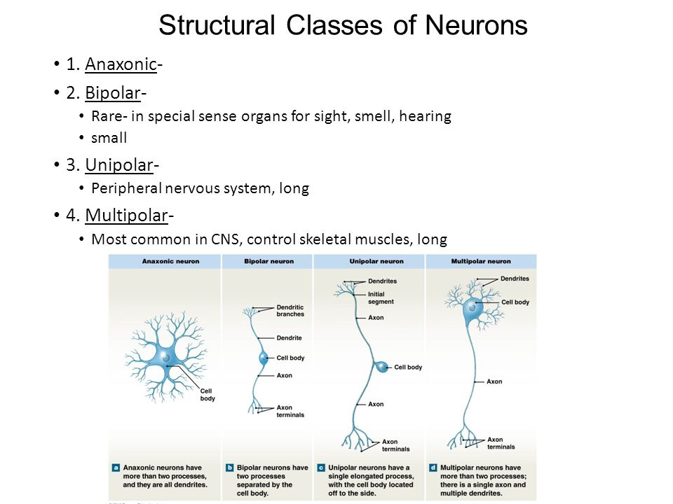 Structural Classes of Neurons 1. Anaxonic- 2.