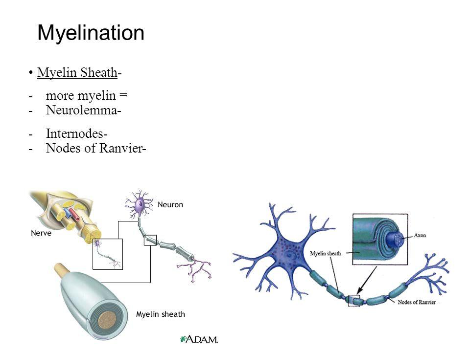 Myelination Myelin Sheath- -more myelin = -Neurolemma- -Internodes- -Nodes of Ranvier-